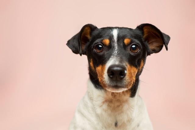 犬がアンフェタミン中毒を起こす中毒量