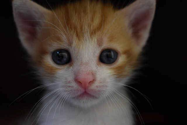 子猫におけるワクチネーション