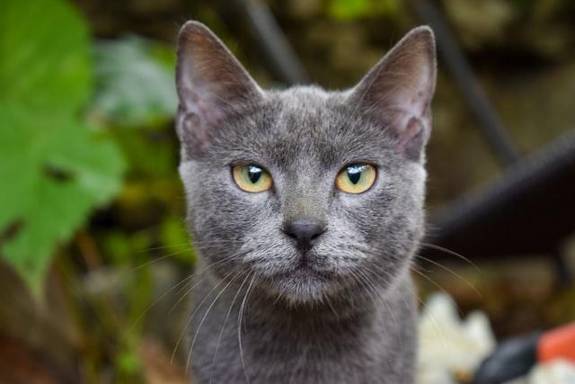猫のヘモプラズマ感染症の診断