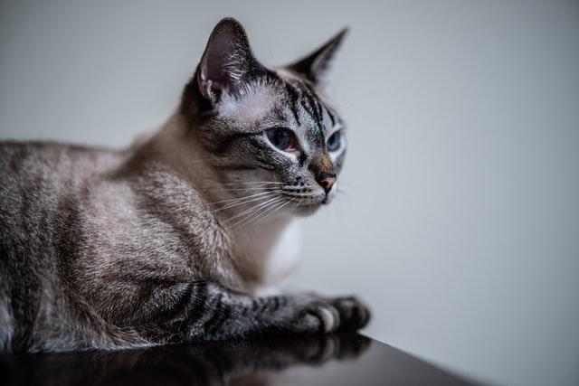 猫のツメダニ感染症の治療