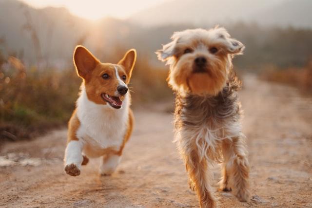 犬のマラセチア性皮膚炎の宿主
