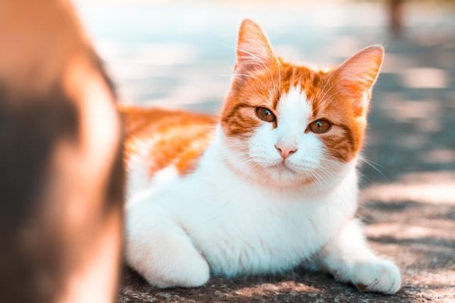 猫のコクシジウム症の治療