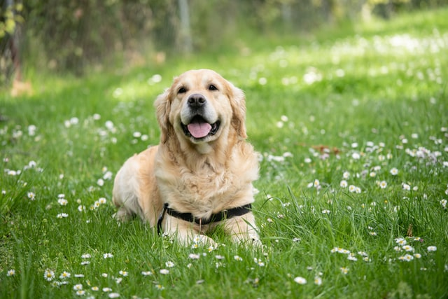 犬のマラセチア性皮膚炎の感染経路