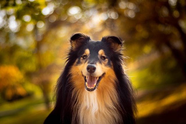 犬のマラセチア性皮膚炎の感染の特徴
