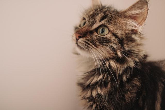 猫のエキノコックス症の診断