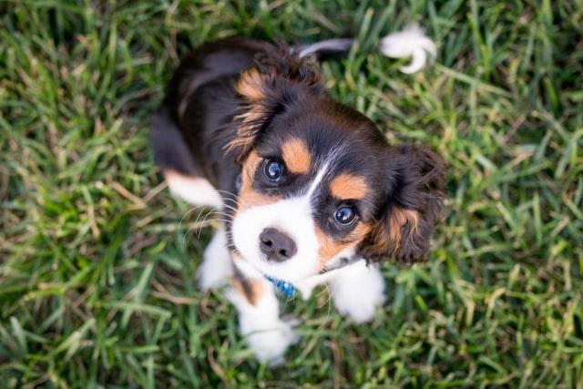 犬のマラセチア性皮膚炎の臨床症状