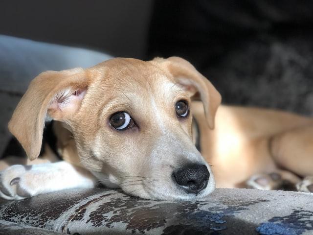 犬のマラセチア性皮膚炎の発症機序