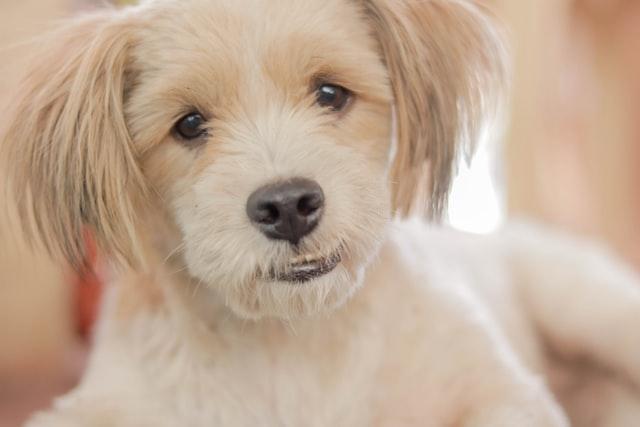 犬のニキビダニ症の感染の特徴