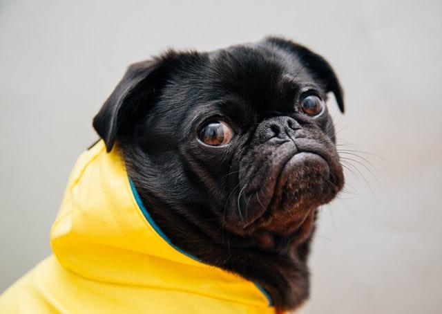 犬のマラセチア性皮膚炎の検査