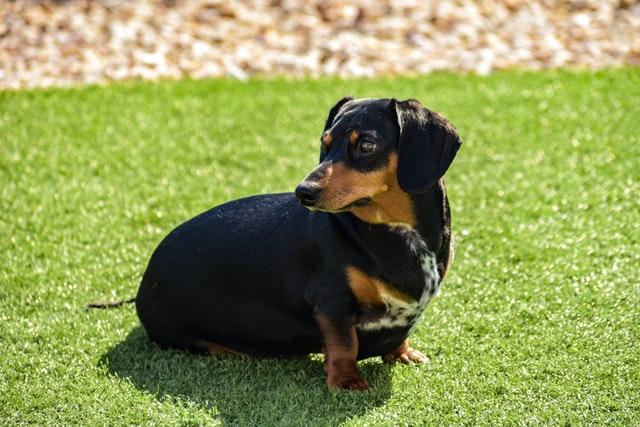 獣医師解説!犬のマラセチア性皮膚炎〜原因、症状、治療法〜