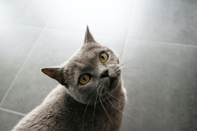獣医師解説!猫の耳ダニ・ネコショウセンコウヒゼンダニ ・疥癬〜症状、原因、治療法〜