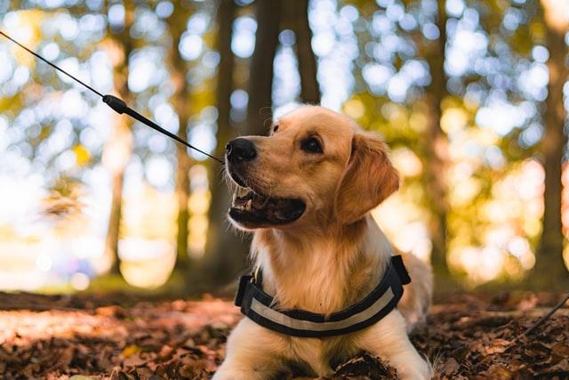 獣医師解説!犬のアジソン病(副腎皮質機能低下症)〜原因、症状、治療法〜