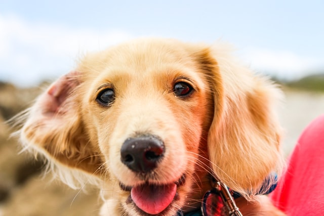 犬のアジソン病(副腎皮質機能低下症)の診断