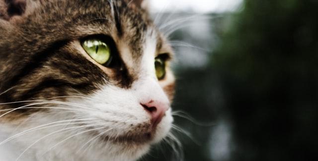 猫のエキノコックス症の感染の特徴