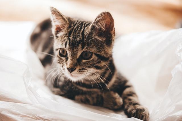 猫腸内コロナウイルスと猫伝染性腹膜炎ウイルスの境界線