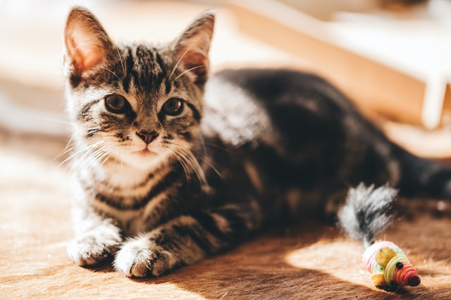 猫の皮膚糸状菌症の宿主