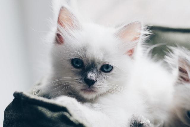 猫の瓜実条虫の診断