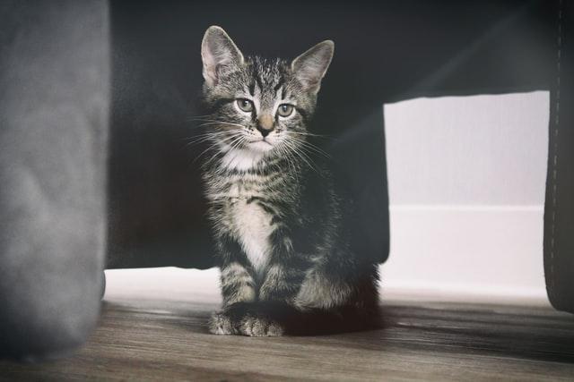 猫のコクシジウム症の感染の特徴