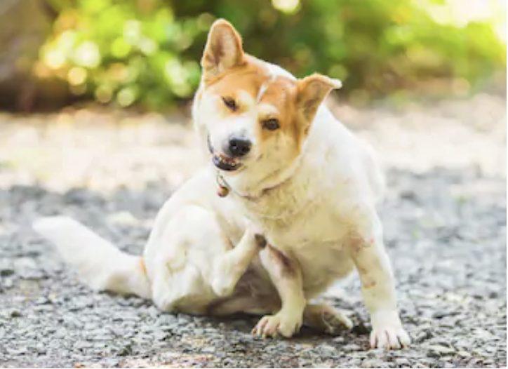 犬のニキビダニ症の感染の臨床症状