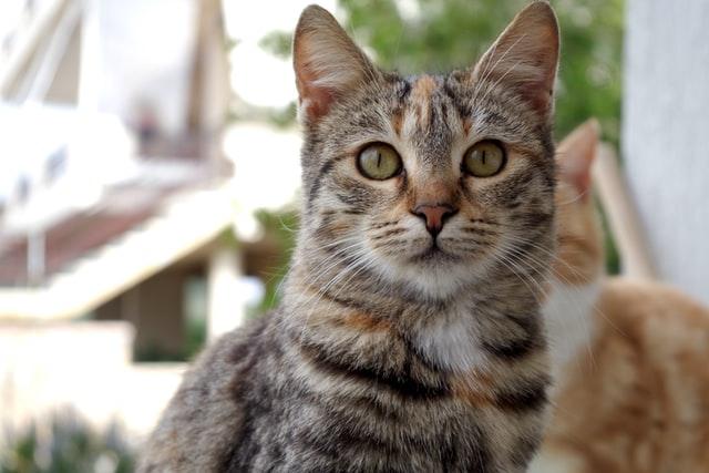 猫コロナウイルス性腸炎の宿主