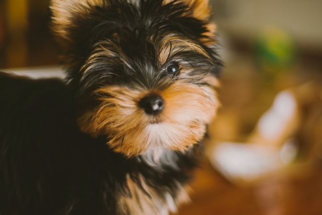 犬の疥癬症:ヒゼンダニの感染の特徴