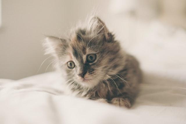 猫のツメダニ感染症の臨床症状