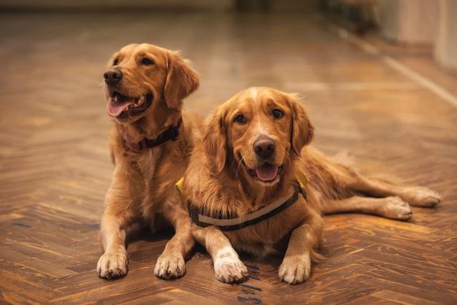 犬のニキビダニ症の感染経路