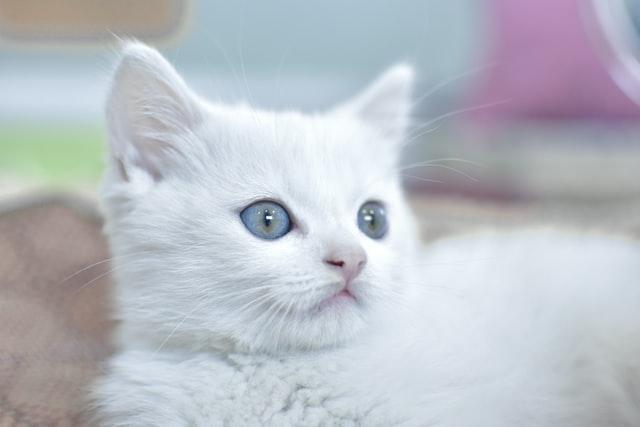 猫免疫不全ウイルス感染症(FIV)の臨床症状