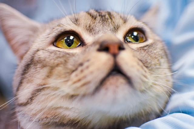 猫汎白血球減少症の胎子・新生子の感染