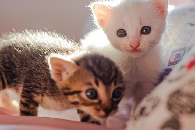 猫風邪:カリシウイルスの感染経路