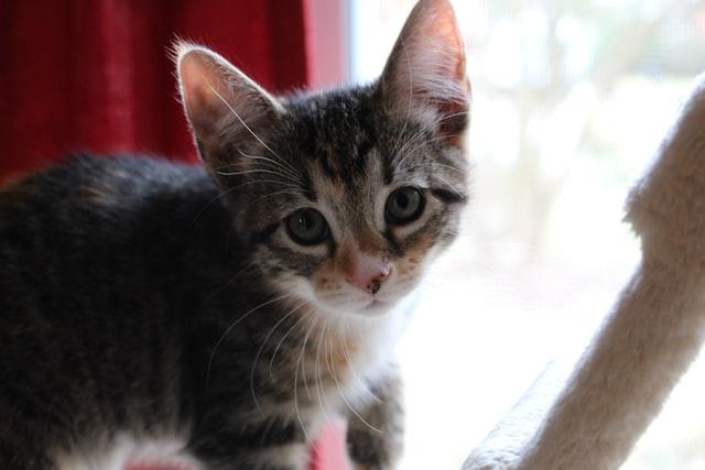 猫の疥癬症の感染経路