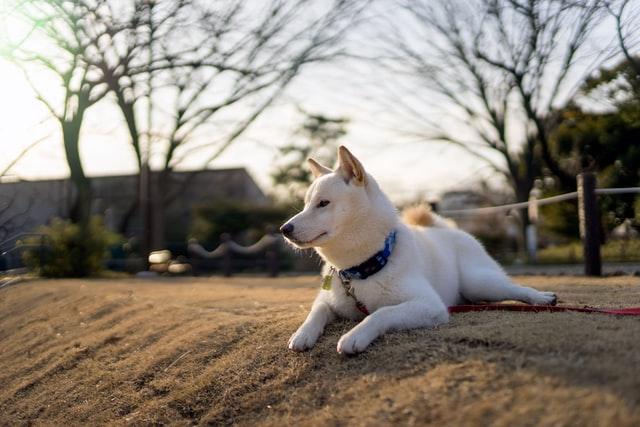 犬のマンソン裂頭条虫症の生活環