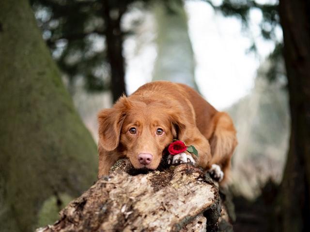 犬の伝染性喉頭気管炎(アデノウイルス)の臨床症状