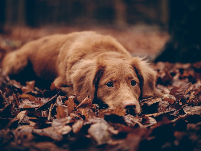 犬のニキビダニ症の疫学