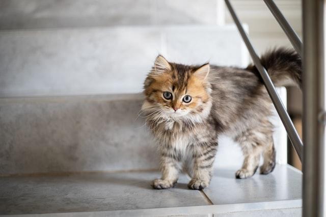 猫の気道感染症:キャットフル