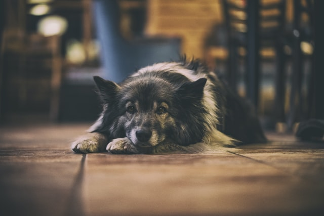 獣医師解説!犬のマンソン裂頭条虫症〜原因、症状、治療法〜