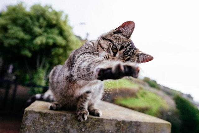 猫風邪:カリシウイルスの感染の特徴