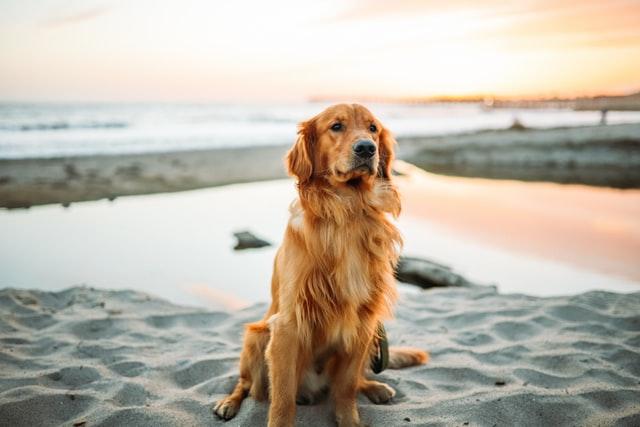 犬のアトピー性皮膚炎の薬の実際