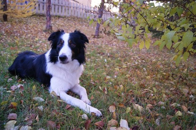 犬のニキビダニ症の感染の治療