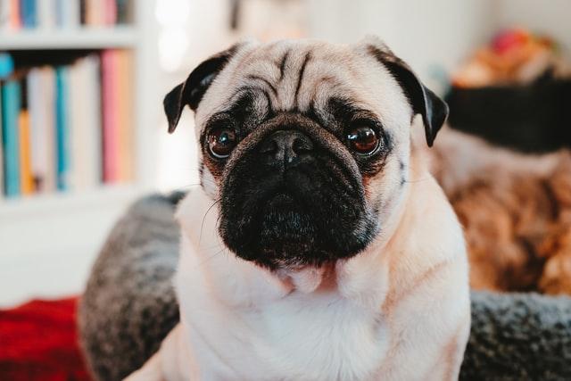 犬のエキノコックス症の感染経路と生活環