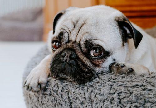 犬のクッシング症候群のシグナルメント