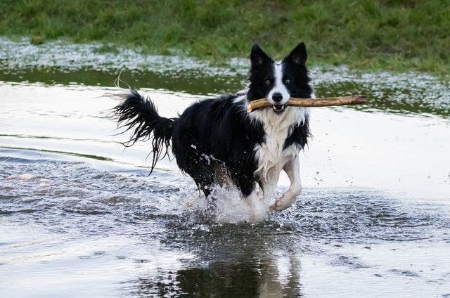 犬のマンソン裂頭条虫症の感染経路