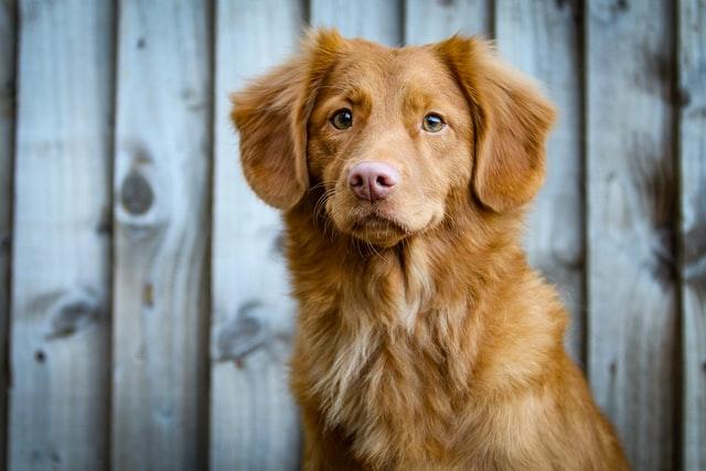 犬のマンソン裂頭条虫症の臨床症状