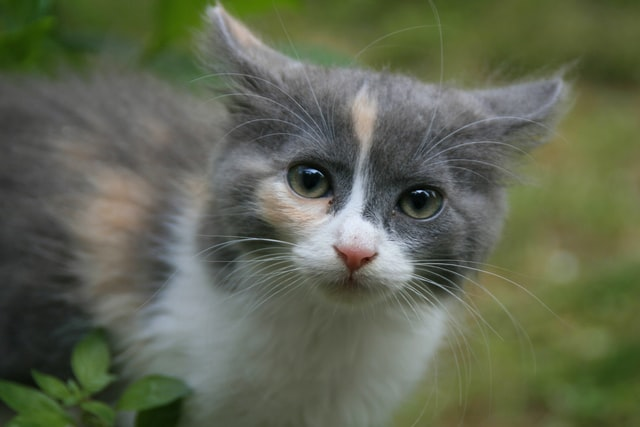 猫のヘモプラズマ感染症の感染経路