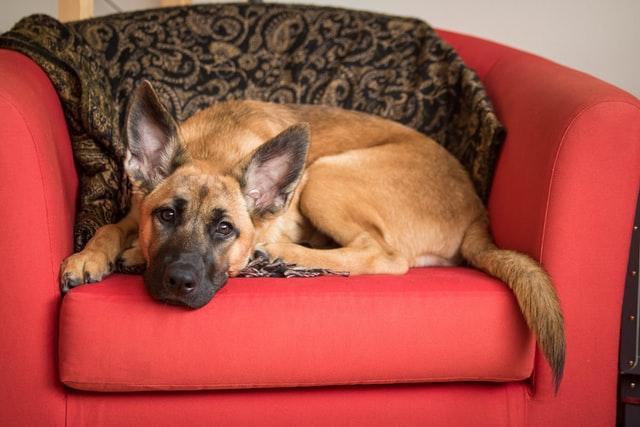 犬の心雑音の対症療法