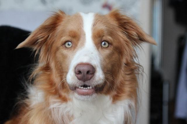 犬のマンソン裂頭条虫症の診断