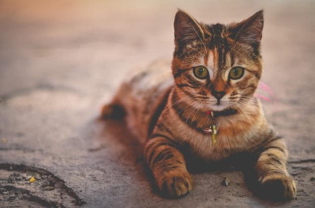 猫のトキソプラズマ症の臨床症状