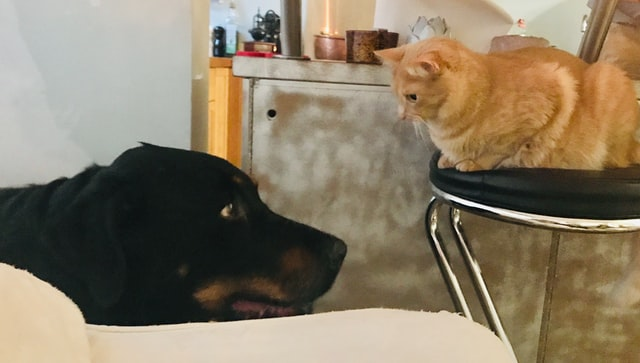 犬と猫の高Ca (カルシウム)血症の予後