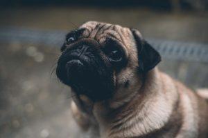 犬のクッシング症候群の内科療法:内服薬の実際