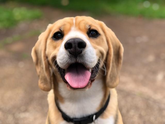 犬のニキビダニ症の病原体